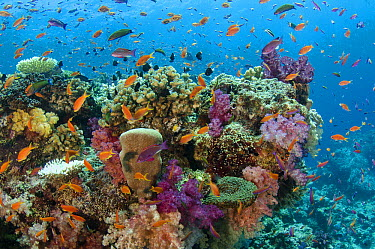 Coral reef showing diversity of corals, Fiji  -  Pete Oxford