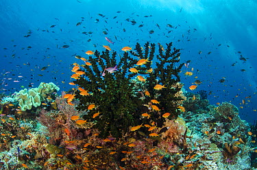 Black Sun Coral (Tubastraea micranthus) and Sea Goldie (Pseudanthias squamipinnis) school, Fiji  -  Pete Oxford