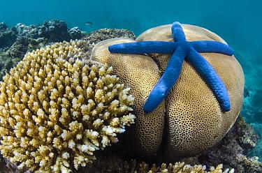 Blue Sea Star (Linckia laevigata) in coral reef, Fiji  -  Pete Oxford