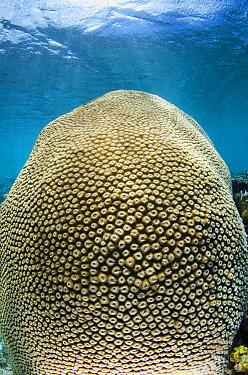 Coral (Montastraea sp), Koro Island, Fiji  -  Pete Oxford