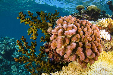 Reef showing a variety of corals, Fiji  -  Pete Oxford