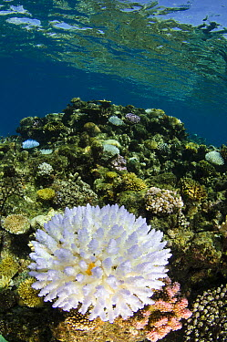 Reef with bleached coral caused by global warming and pollution, Fiji  -  Pete Oxford