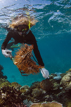 Crown-of-thorns Starfish (Acanthaster planci) pair being removed by Marlen Zigler, since the starfish is detrimental to the coral reef, Koro Island, Fiji  -  Pete Oxford