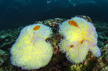 Pink Anemonefish (Amphiprion perideraion) pair in Magnificent Sea Anemones (Heteractis magnifica) for protection, Fiji  -  Pete Oxford