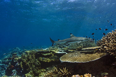 Black-tip Reef Shark (Carcharhinus melanopterus) swimming over reef, Beqa Lagoon, Viti Levu, Fiji  -  Pete Oxford