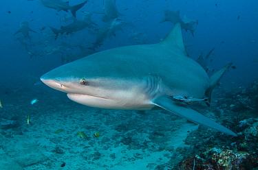 Bull Shark (Carcharhinus leucas) group, Beqa Lagoon, Viti Levu, Fiji  -  Pete Oxford