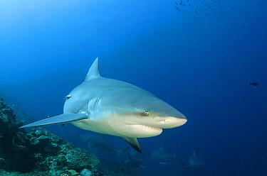 Bull Shark (Carcharhinus leucas), Beqa Lagoon, Viti Levu, Fiji  -  Pete Oxford