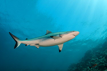 Grey Reef Shark (Carcharhinus amblyrhynchos), Beqa Lagoon, Viti Levu, Fiji  -  Pete Oxford