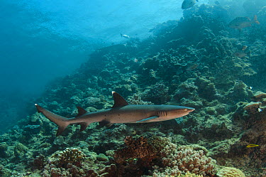 White-tip Reef Shark (Triaenodon obesus) swimming over reef, Beqa Lagoon, Viti Levu, Fiji  -  Pete Oxford