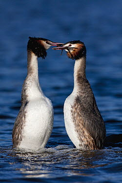 Great Crested Grebe (Podiceps cristatus) pair courting, Netherlands  -  Edwin Rem/ NIS