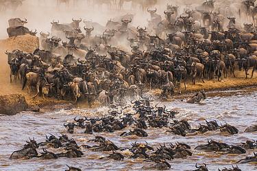 Blue Wildebeest (Connochaetes taurinus) herd crossing river, Masai Mara, Kenya  -  Federico Veronesi/ NIS