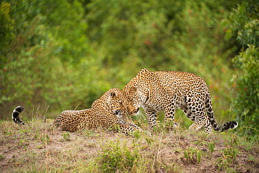 Leopard (Panthera pardus) sub-adult greeting mother, Masai Mara, Kenya  -  Federico Veronesi/ NIS