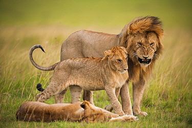 African Lion (Panthera leo) family, Masai Mara, Kenya  -  Federico Veronesi/ NIS