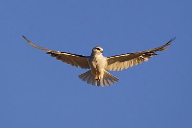 Black-shouldered Kite (Elanus axillaris) flying, Botswana  -  Adri de Visser
