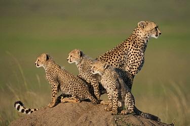 Cheetah (Acinonyx jubatus) family on termite mound lookout, Masai Mara, Kenya  -  Adri de Visser
