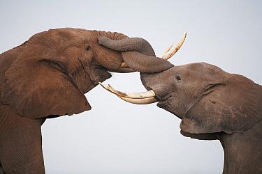 African Elephant (Loxodonta africana) pair fighting, Amboseli National Park, Kenya  -  Adri de Visser