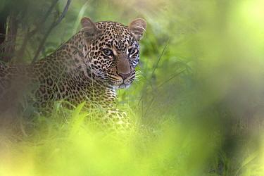 Leopard (Panthera pardus) hiding in vegetation, Masai Mara, Kenya  -  Adri de Visser