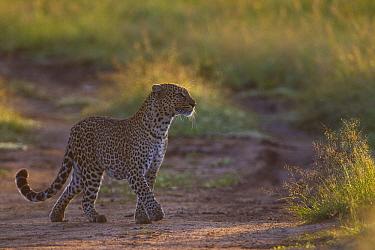 Leopard (Panthera pardus) crossing road, Masai Mara, Kenya  -  Adri de Visser