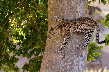 Leopard (Panthera pardus) climbing down tree, Masai Mara, Kenya  -  Adri de Visser