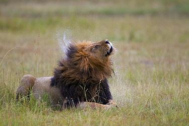 African Lion (Panthera leo) male shaking water from fur, Masai Mara, Kenya  -  Adri de Visser