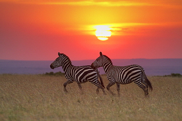 Zebra (Equus quagga) pair at sunrise, Masai Mara, Kenya  -  Adri de Visser