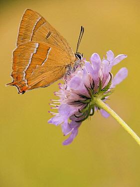 Brown Hairstreak (Thecla betulae) butterfly on flower, Germany  -  Arik Siegel/ NIS