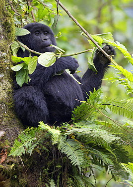 Mountain Gorilla (Gorilla gorilla beringei) feeding in tree, Bwindi Impenetrable National Park, Uganda  -  Marc Gottenbos/ NIS