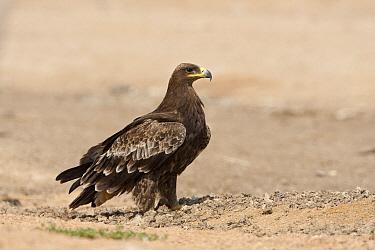 Steppe Eagle (Aquila nipalensis), Sharm El Sheikh, Egypt  -  David Verdonck/ NIS