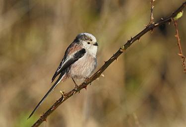 Long-tailed Tit (Aegithalos caudatus), Netherlands  -  Jan van Hooff/ NIS