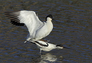 Pied Avocet (Recurvirostra avosetta) pair mating, Netherlands  -  Jan van Hooff/ NIS