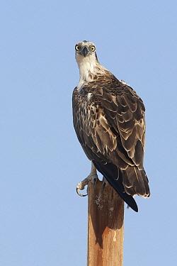Osprey (Pandion haliaetus), Sharm el Sheikh, Egypt  -  David Verdonck/ NIS