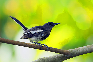 Oriental Magpie-Robin (Copsychus saularis), Singapore  -  Marc Bulte/ NIS