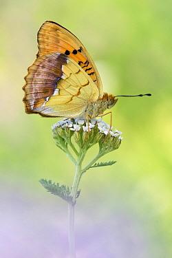 Pallas' Fritillary (Argynnis laodice) butterfly on flower, Germany  -  Arik Siegel/ NIS