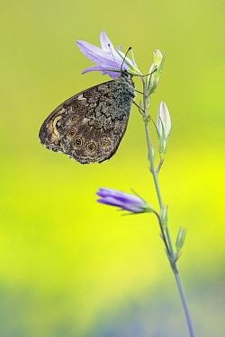 Large Wall Brown (Lasiommata maera) butterfly female, Hessen, Germany  -  Arik Siegel/ NIS