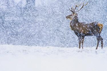 Red Deer (Cervus elaphus) stag in snowfall, Derbyshire, England, United Kingdom  -  James Shooter/ NIS