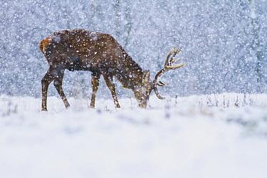 Red Deer (Cervus elaphus) stag grazing in snowfall, Derbyshire, England, United Kingdom  -  James Shooter/ NIS