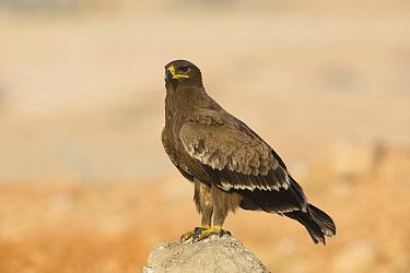 Steppe Eagle (Aquila nipalensis), Dhofar, Oman  -  David Verdonck/ NIS