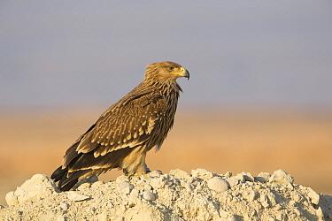 Imperial Eagle (Aquila heliaca), Dhofar, Oman  -  David Verdonck/ NIS