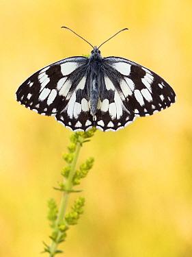 Marbled White (Melanargia galathea) butterfly on flower, Hessen, Germany  -  Arik Siegel/ NIS