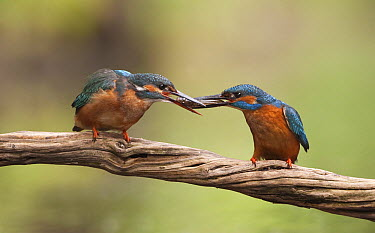 Common Kingfisher (Alcedo atthis) female accepting fish prey as courting gift from male, Netherlands  -  Franka Slothouber/ NIS