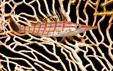 Longnose Hawkfish (Oxycirrhites typus) camouflaged on sea fan, Red Sea, Egypt  -  Dray van Beeck/ NiS