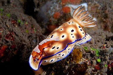 Emperor Shrimp (Periclimenes imperator) hitchhiking on Tyron's Risbecia (Risbecia tryoni) nudibranch, Bali, Indonesia  -  Dray van Beeck/ NiS
