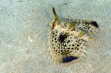 Oriental Flying Gurnard (Dactyloptena orientalis) on ocean floor, Lombok, Indonesia  -  Dray van Beeck/ NiS