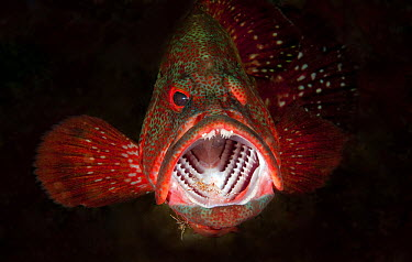 Tomato Grouper (Cephalopholis sonnerati) being cleaned by Scarlet Cleaner Shrimp (Lysmata amboinensis), Bali, Indonesia  -  Dray van Beeck/ NiS