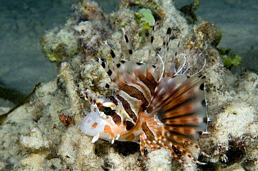 Spotfin Lionfish (Pterois antennata) camouflaged on reef, Lombok, Indonesia  -  Dray van Beeck/ NiS