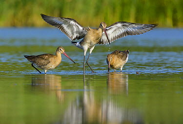 Black-tailed Godwit (Limosa limosa) pair foraging with another landing, Netherlands  -  Remco van Daalen/ NIS