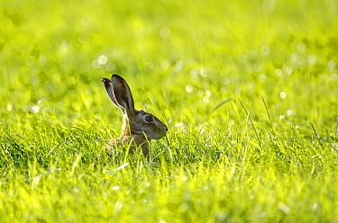 European Hare (Lepus europaeus) in field, Belgium  -  Jeffrey Van Daele/ NIS
