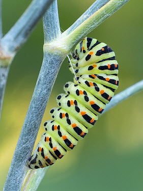 Oldworld Swallowtail (Papilio machaon) caterpillar, Hessen, Germany  -  Arik Siegel/ NIS
