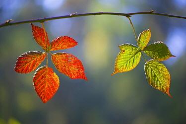 Shrubby Blackberry (Rubus fruticosus) leaves in autumn, Netherlands  -  Corne van Oosterhout/ NIS