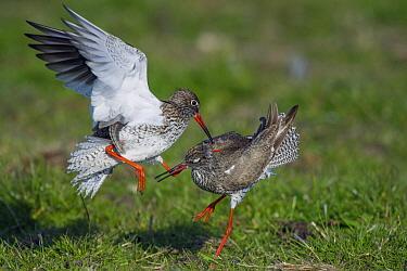 Common Redshank (Tringa totanus) pair fighting over territory, Friesland, Netherlands  -  Jan Baks/ NiS